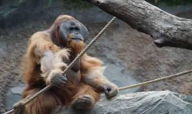 Gorilla in Hagenbeck