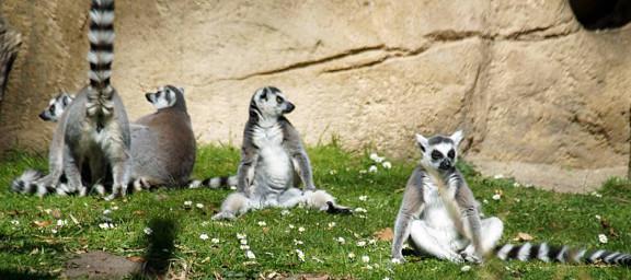 Kattas im Zoo Cottbus