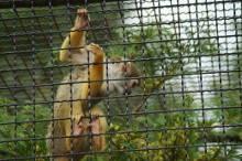 Affe in Krüzen