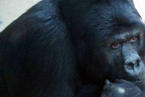 Gauers Gorilla in Antwerpen