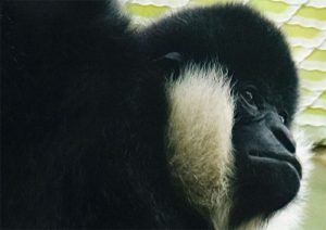 Gibbon in Liberec