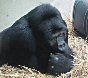 Grauers Gorilla