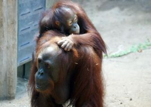 Borneo Orang Utan in Rostock