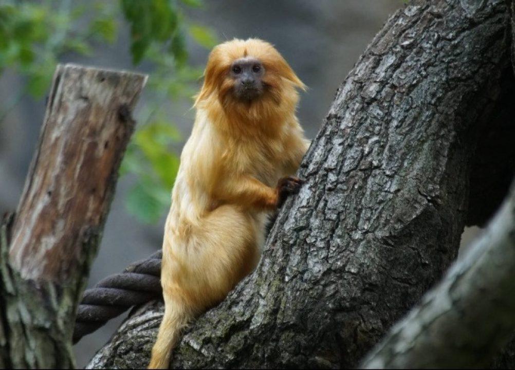 Goldenes Löwenäffchen im Zoo Leipzig