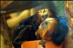 Goldkopf-Löwenäffchen im Zoo Wittenberg
