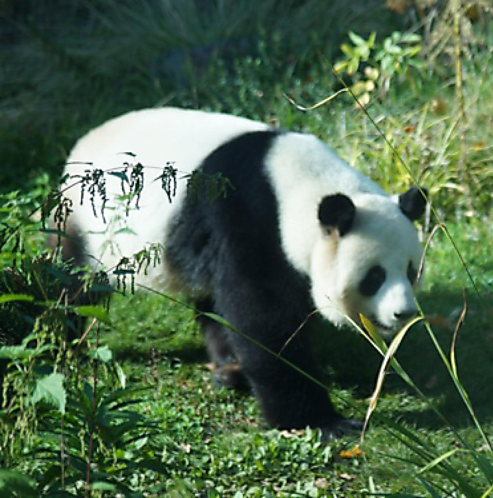 Panda I'm Zoo Berlin