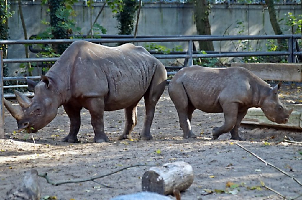 Spitzmaulnashörner Im Zoo Berlin