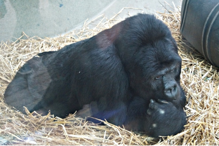 Grauers Gorilla oder Östlicher Flachlandgorilla  in Antwerpen